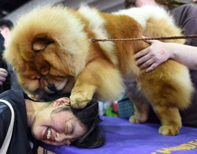 Candace Chien plays with a Chow Chow in the benching area