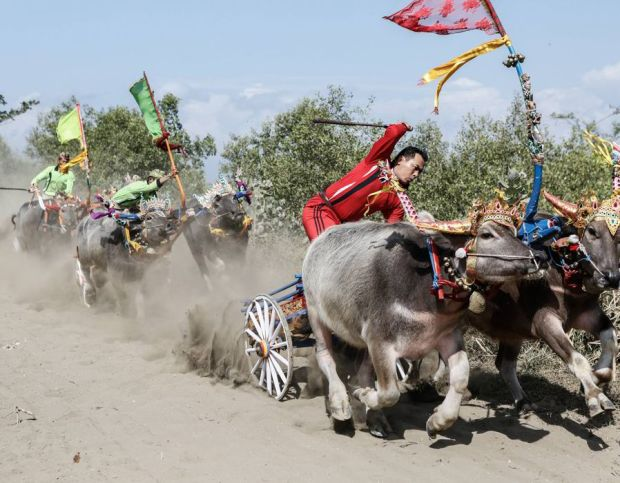 Contestants compete during 'Mekepung' traditional water buffalo race on August 3, 2014 near Negara, Bali, Indonesia. Meaning 'to chase around', Mekepung is a race of water buffaloes driven by a jockey and was originally designed as a fun game for peasants to spend their free time between the end of harvest and the start of the planting season