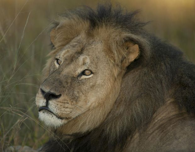 Cecil the lion relaxing with the pride and playing with his family