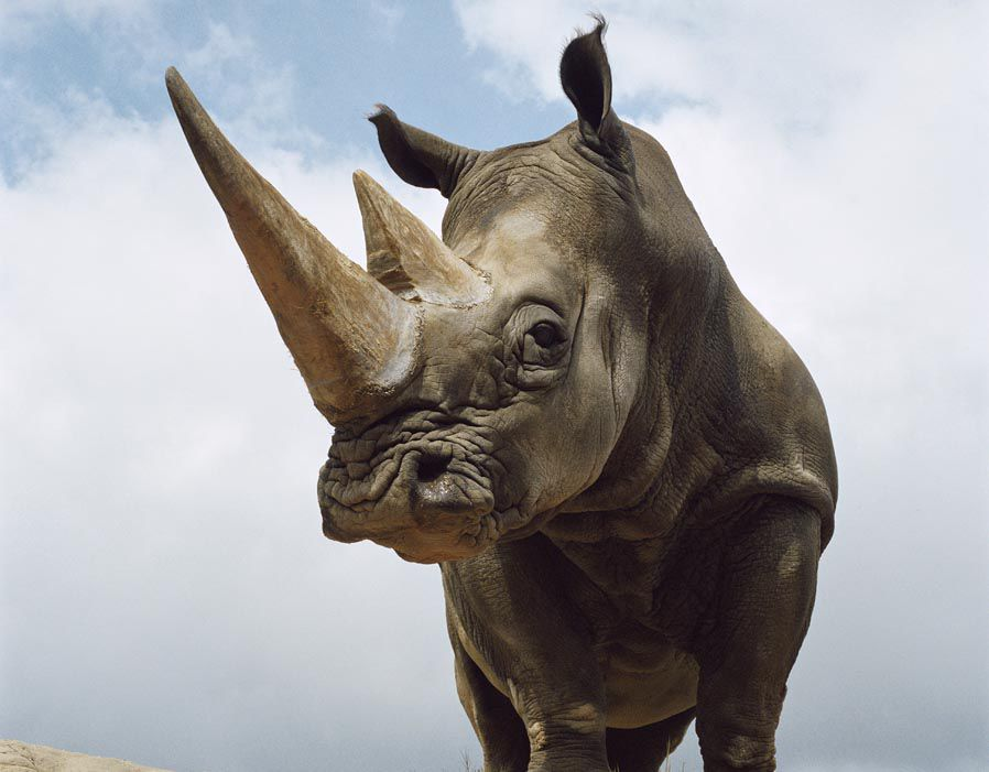 Rhino horns are made from a protein called keratin, the same substance that nails and hair are made of.         The rhinoÕs horn is not bone and is not attached to its skull; It is a compacted mass of hairs that continues to grow throughout the animalÕs l