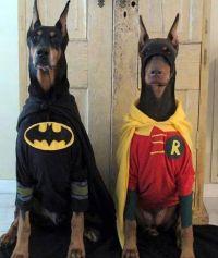 Batman and Robin dog Halloween costume | Star Wars pug ...