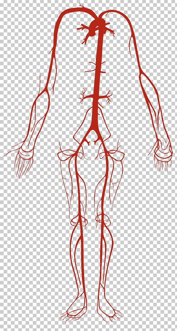 medium resolution of artery vein circulatory system human body blood vessel png clipart abdomen anatomy arm cap circulatory system