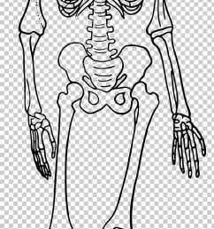 the skeletal system human skeleton human body diagram bone png clipart anatomy arm art  [ 728 x 2106 Pixel ]