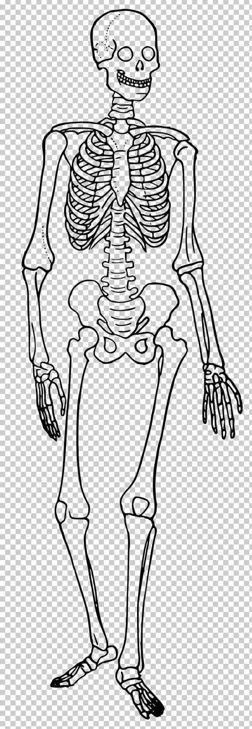 small resolution of the skeletal system human skeleton human body diagram bone png clipart anatomy arm art