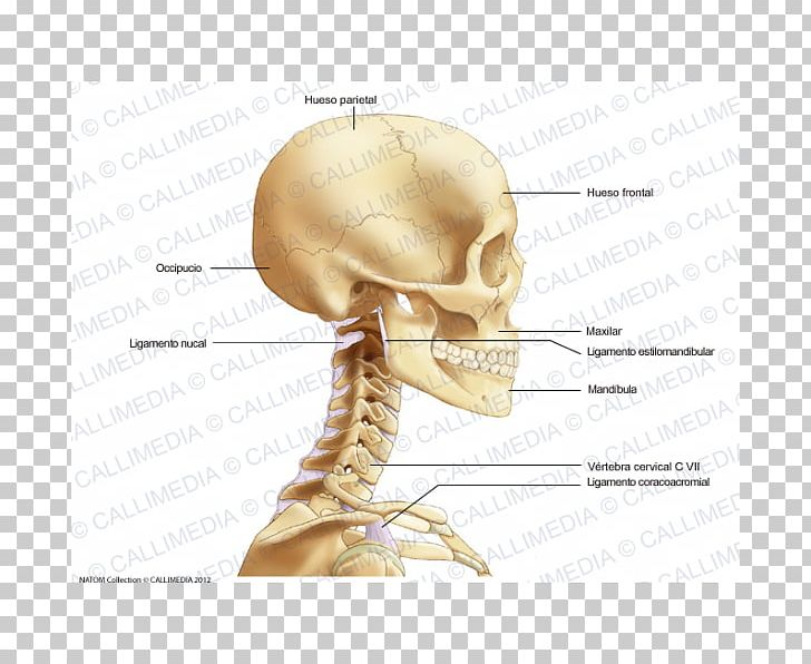 Bone Head And Neck Anatomy Head And Neck Anatomy Head And ...