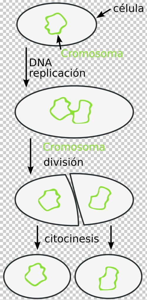small resolution of fission bacteria paramecium mitosis prokaryote png clipart angl area asexual reproduction bacteria black and white free
