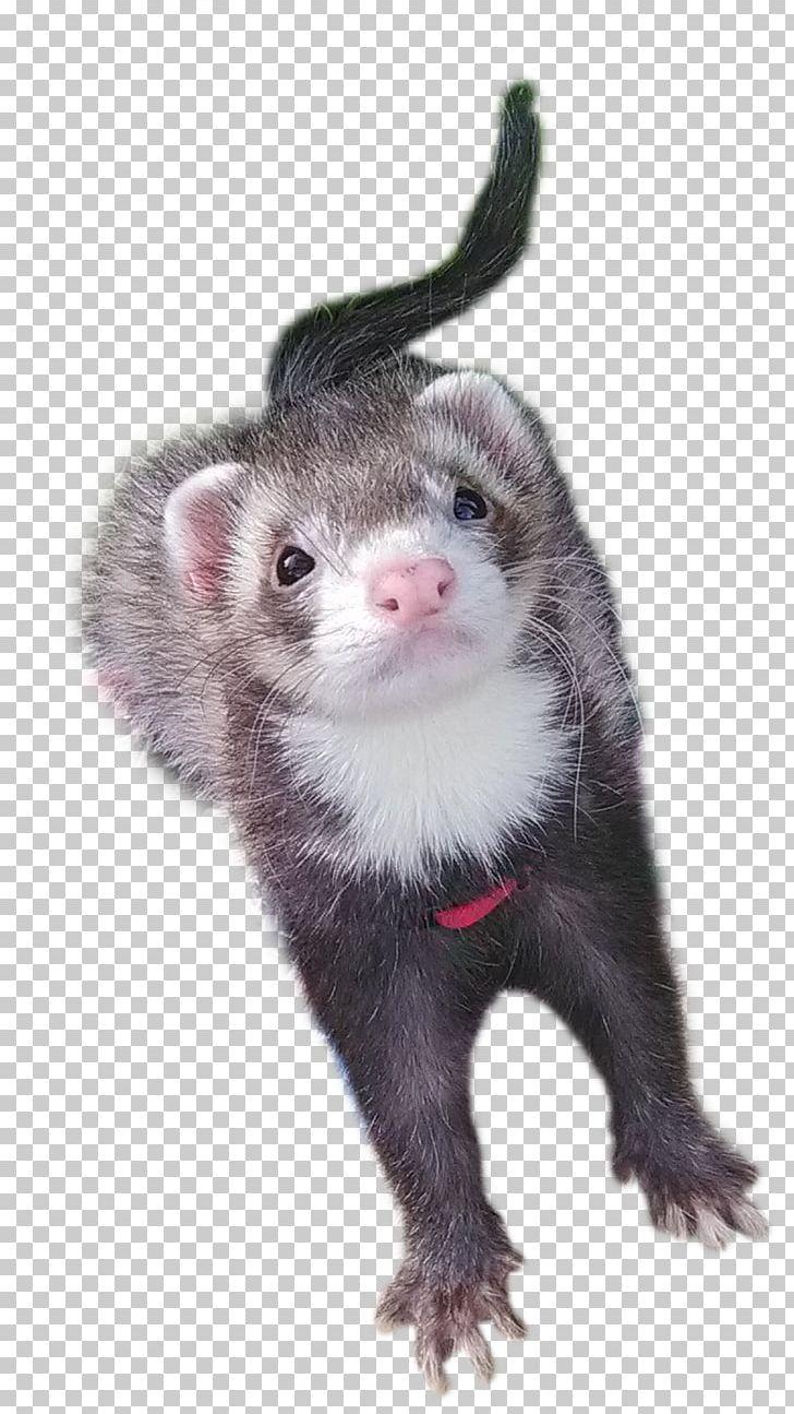 medium resolution of ferret mustelinae mink carnivora terrestrial animal png clipart animal animals carnivora carnivoran european polecat free png download