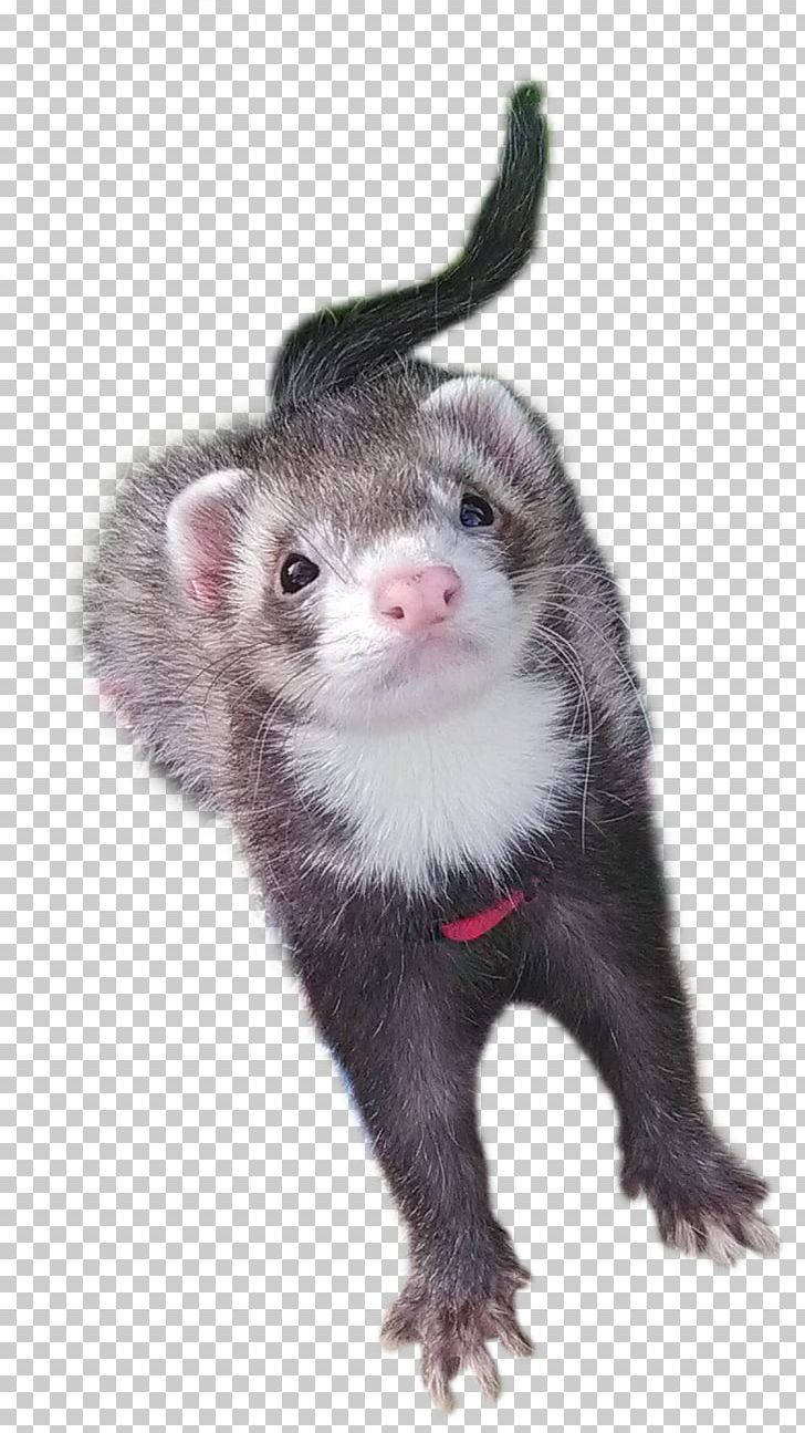 hight resolution of ferret mustelinae mink carnivora terrestrial animal png clipart animal animals carnivora carnivoran european polecat free png download