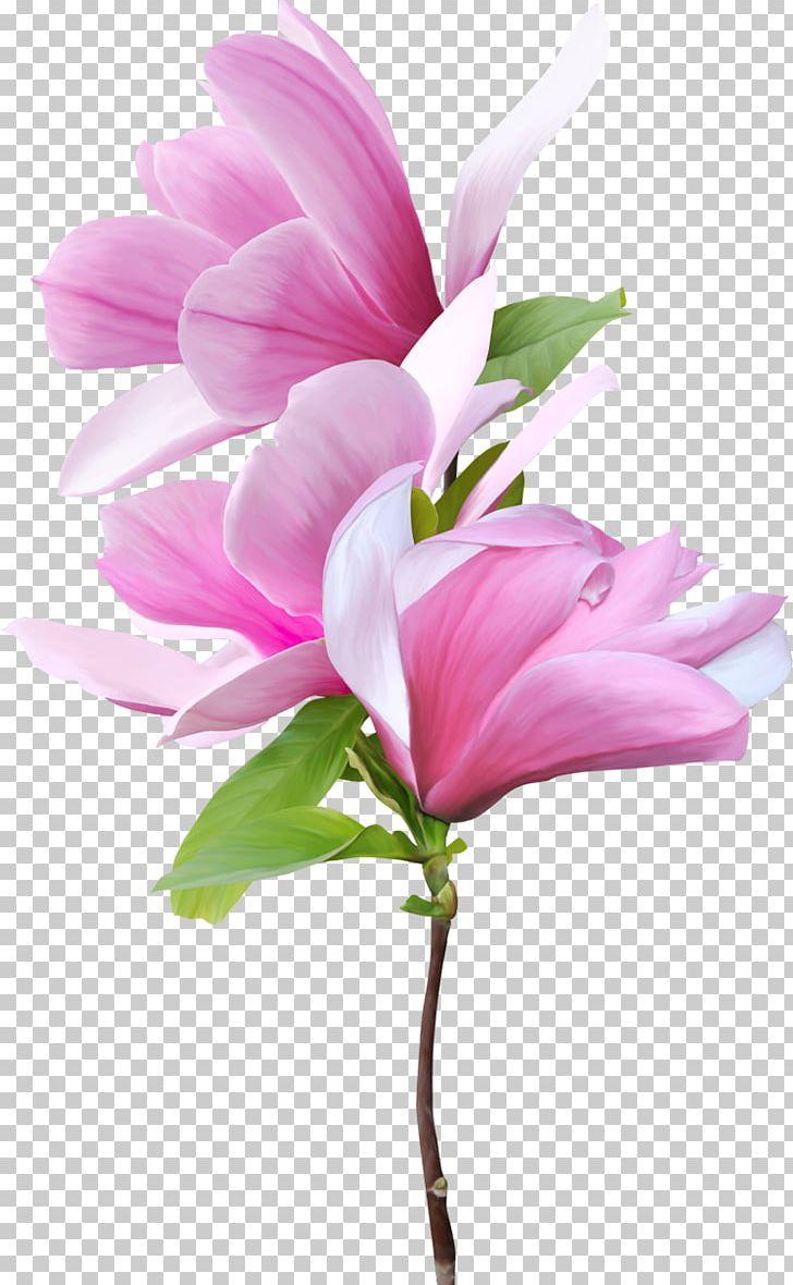 Magnolia Flower Png : magnolia, flower, Magnolia, Flower, Wallpaper