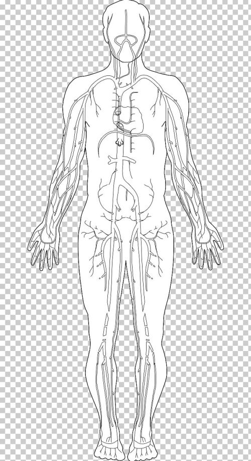 small resolution of human body homo sapiens diagram hand png clipart anatomy arm art diagram drawing free png download