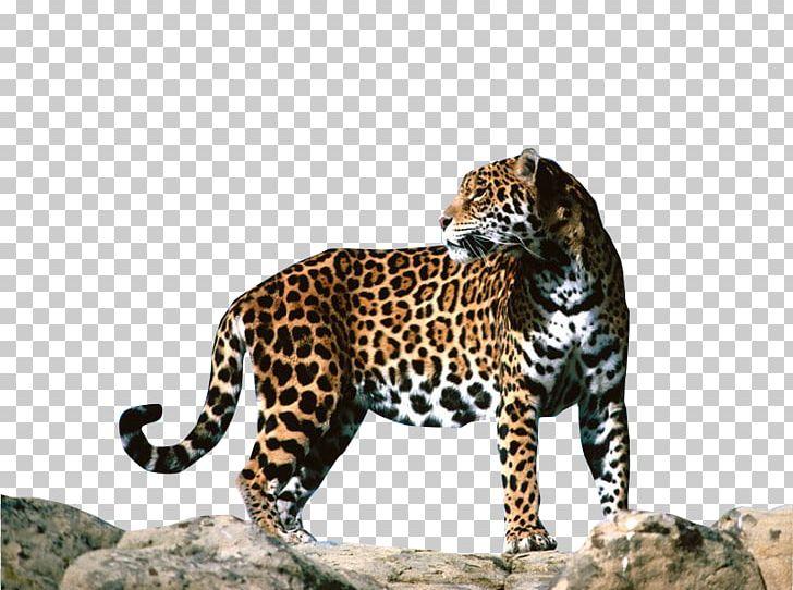 leopard jaguar f type