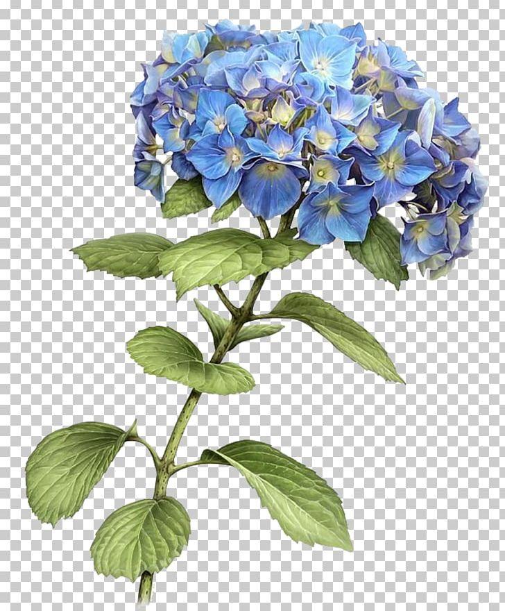 french hydrangea botanical illustration