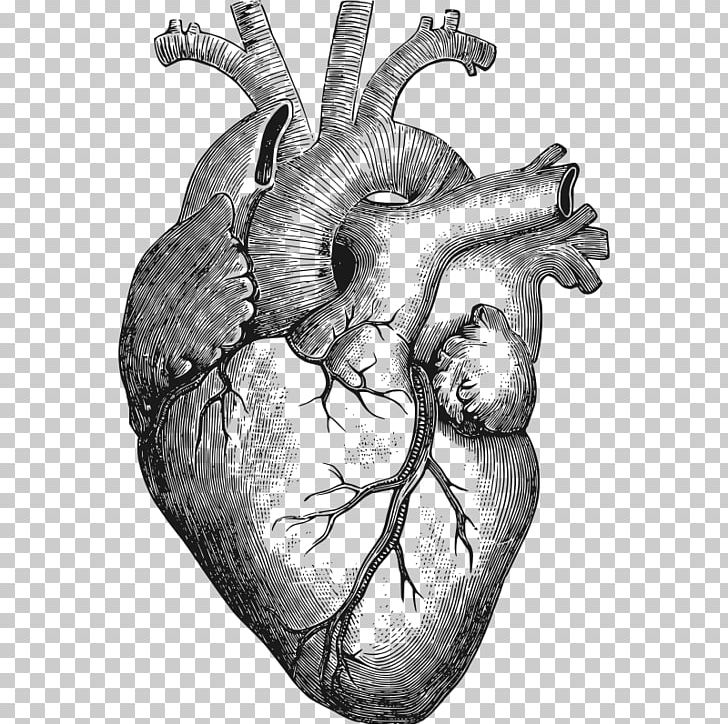 Heart Anatomy T-shirt Organ Human Body PNG, Clipart ...