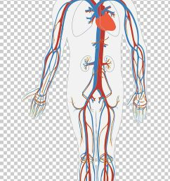 circulatory system diagram human body anatomy organ system png clipart arm art blood blood bag  [ 728 x 1276 Pixel ]