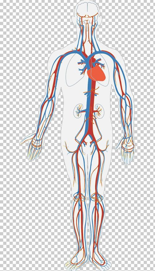 small resolution of circulatory system diagram human body anatomy organ system png clipart arm art blood blood bag