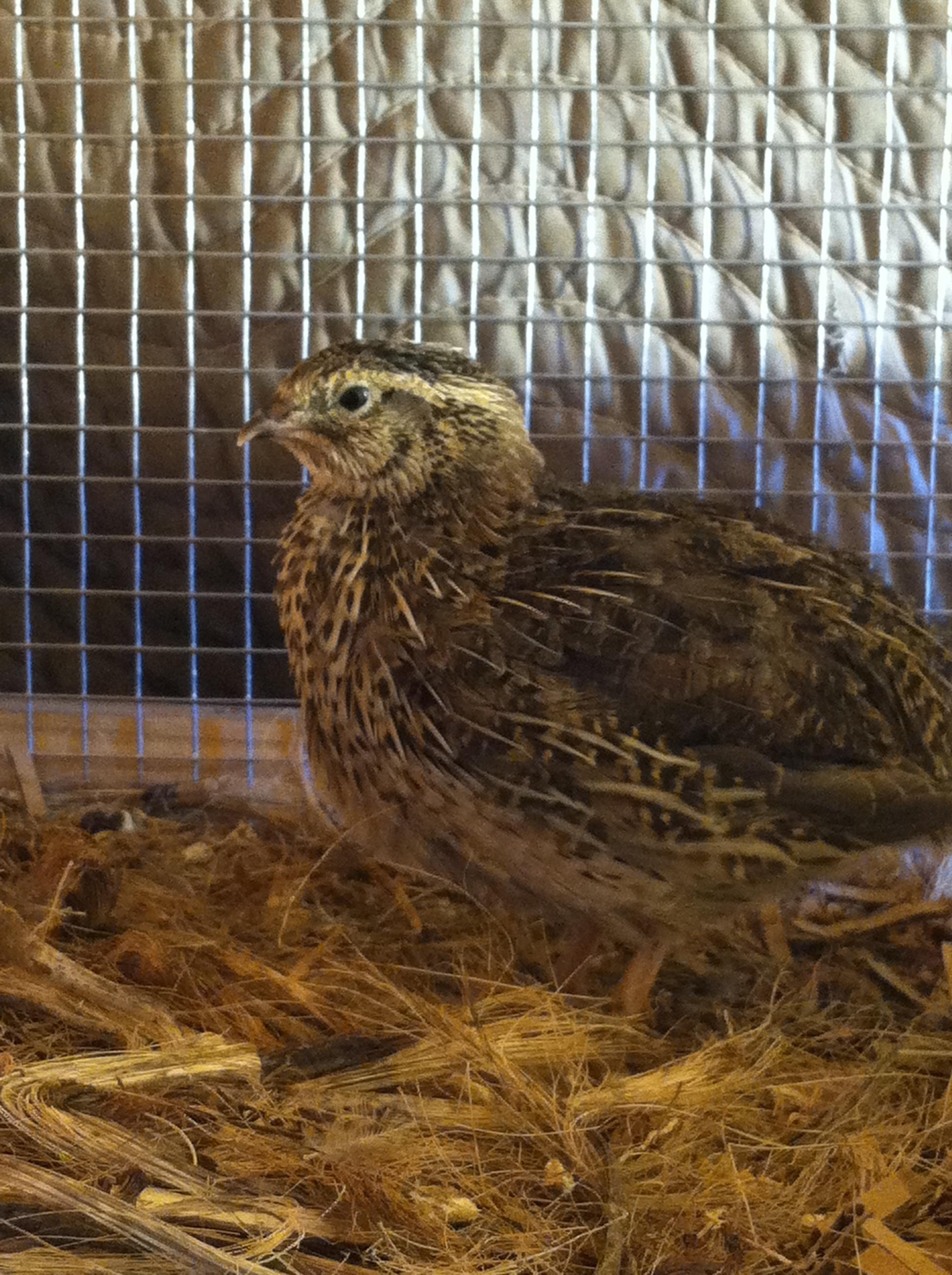 small resolution of build a quail hutch