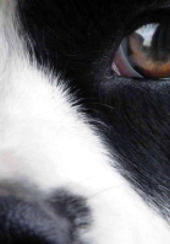 canine eye diagram right christmas lights wiring forums chronic mitral valve insufficiency in dogs recent advances medicine