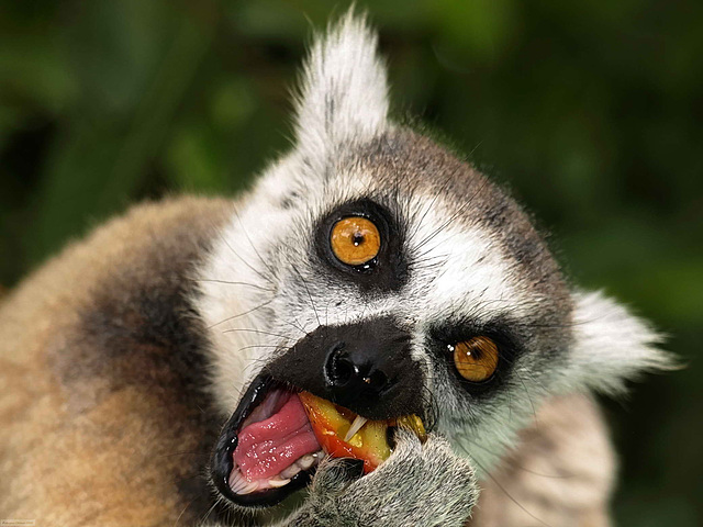 Ring Tailed Lemur or Maki Eating a Mango