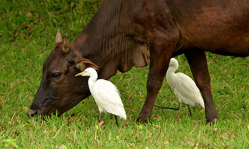 Ipernity Cattle Egrets Les Garde Boeufs Sri Lanka By
