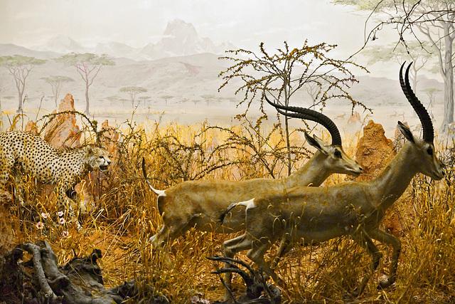 Fall Deer Wallpaper Ipernity A Cheetah Giving Chase Diorama Carnegie