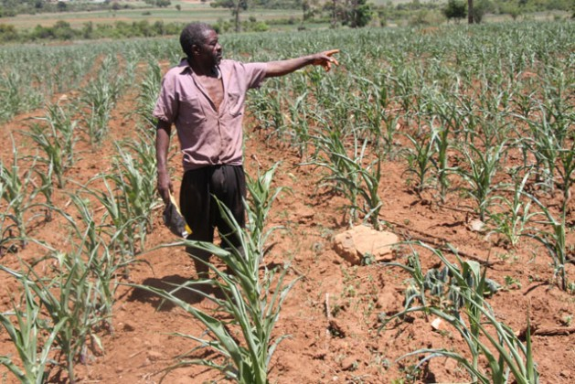 Daniel Chirara, a farmer in Vumba, Zimbabwe shows his wilting maize crop as the country suffers a serious drought. Credit:  Andrew Mambondiyani/IPS