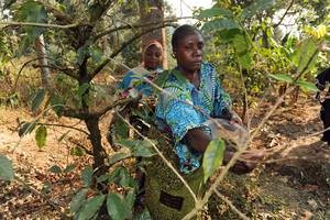 Agro-forestry farmers are tending to the crops in Kigoma, Tanzania. Forests are an integral part of the national agriculture policy with the aim of protecting arable land from erosion and increasing agricultural production. Credit: FAO