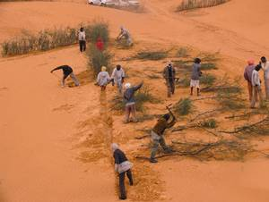 FAO project in Mauritania is a text book case on halting desertification in Africa. Photo: FAO