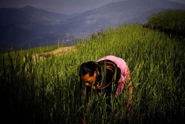 A woman farmer working in a wheat field in rural Nepal. Photo: FAO/Saliendra Kharel