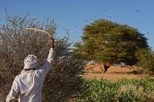 A man beating a bush with a stick to show desert locusts swarming near Fada, Chad. FAO toolbox shows how prevention, early warning and preparedness can help control desert locust and other trans-boundary threats. Photo: FAO