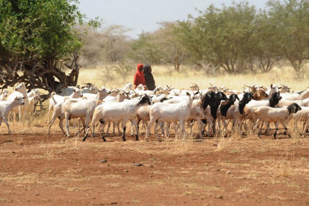 Farmers in the Horn of Africa need urgent support to recover from consecutive lost harvests and to keep their livestock healthy and productive. Photo: FAO/Simon Maina