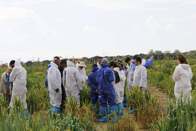 Wheat experts examine a research plot near Izmir, Turkey, affected by wheat yellow rust. Photo: FAO/Fazil Dusunceli