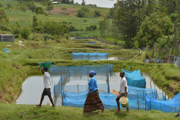 Though not a human health risk, Tilapia Lake Virus has large potential impact on global food security and nutrition. Credit: FAO