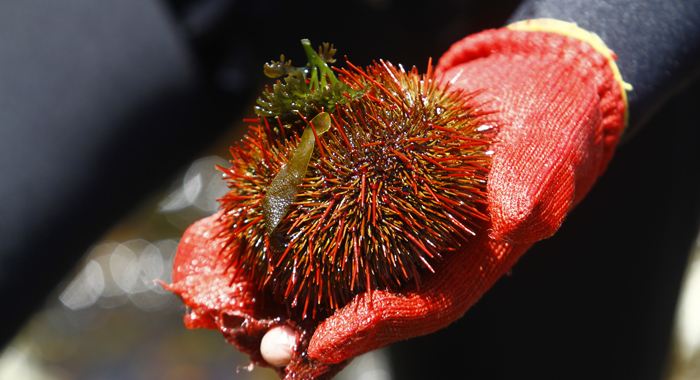 Fisherman Have Agreed To Ban The Harvesting Of Red Sea Urchins To Allows The Species To Recover. (V.vásquez/Cop20 Cmp10)