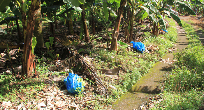 Stewart Said About 300 Bunches Of Banana Were Cut From The Trees And Left In The Fields. (Iwn Photo)