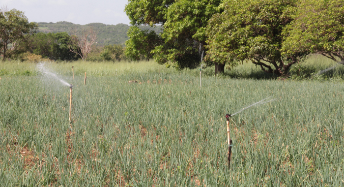 Irrigation Is Key To Jamaica'S Agro-Parks. (Iwn Photo)