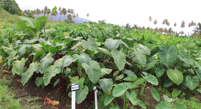 Experimentation Varieties Of Dasheen From The Pacific Islands Being Grown At The Caribbean Agricultural Research And Development Institute (Cardi) Crop Research Centre In Rabacca, St. Vincent. (Iwn Photo)