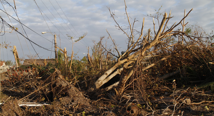 Many Trees Fell On Power Lines Leading To Widespread Electricity Outages. (Photo: Cmc/Iwn)