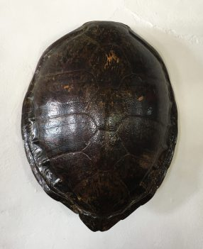 Turle Shell