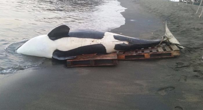 Orca In Bagga