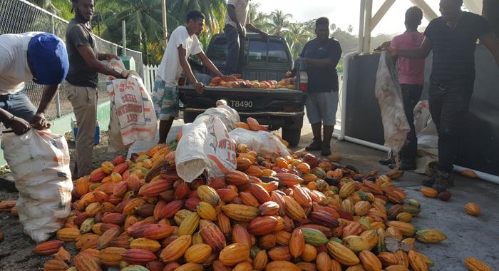 Svcc Cocoa Harvest