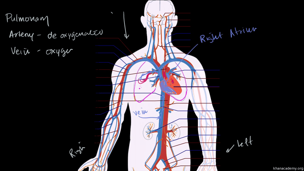 Essay On Human Heart The Heart Is A Double Pump Article Khan Academy