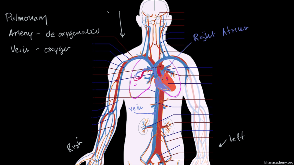 medium resolution of  video human body systems khan academy