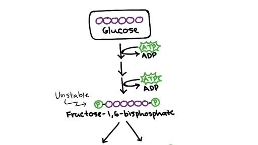 Short note on glycolysis. Write a Short Note on Adenosine