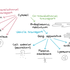 Eukaryotic Endomembrane System Cell Diagram Storage Array Protein Targeting Article Translation Khan Academy