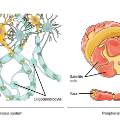 Detailed Neuron Diagram 120v Outlet Wiring Overview Of Structure And Function Article Khan Academy Left Panel Glia The Central Nervous System Astrocytes Extend Their Feet