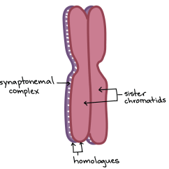 Simple Diagram Of Meiosis Fisher Dvc 2000 Wiring Cell Division Biology Article Khan Academy Image Two Homologous Chromosomes Positioned One On Top The Other And Held Together