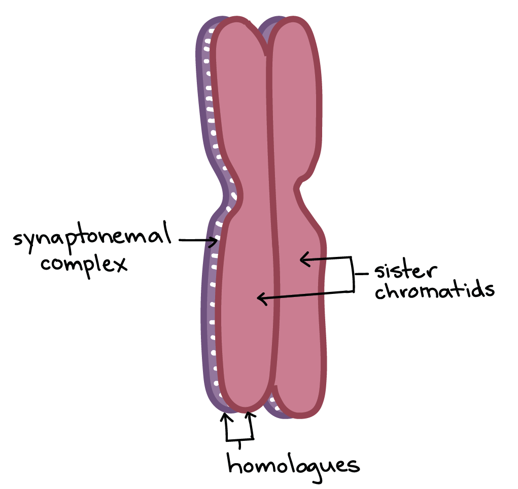 hight resolution of image of two homologous chromosomes positioned one on top of the other and held together