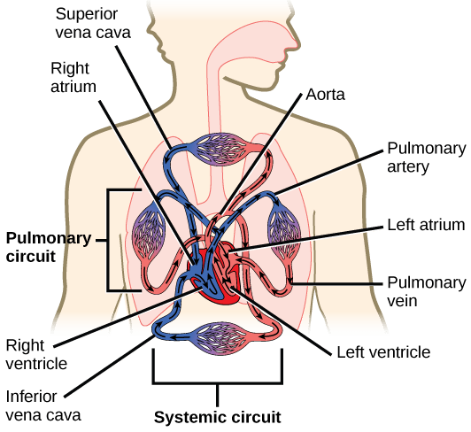 human heart and lungs diagram stx38 wiring black deck the circulatory system review article khan academy showing flow of blood from to rest body