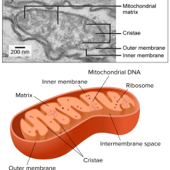 Mitochondrion Structure Diagram 1998 Dodge Ram 2500 Abs Wiring Mitochondria And Chloroplasts Article Khan Academy Electron Micrograph Of A Showing Matrix Cristae Outer Membrane Inner