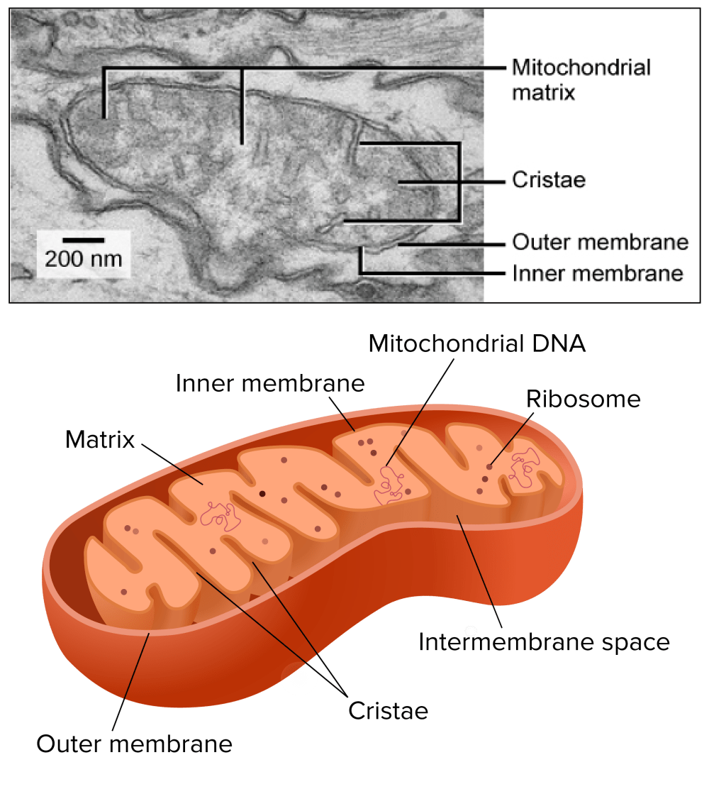 medium resolution of electron micrograph of a mitochondrion showing matrix cristae outer membrane and inner